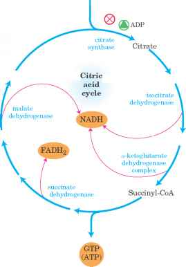 Tca Cycle Nh4