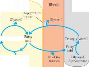 Triacylglycerol Cycle