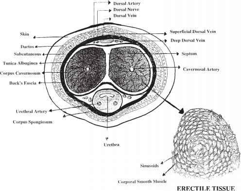 Functional Vascular And Microscopic Anatomy Of Penile Erection ...