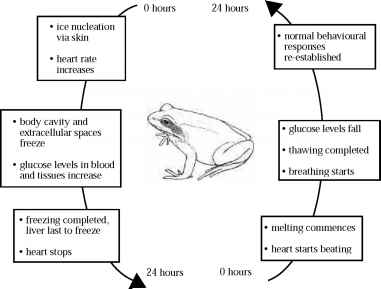 Frozen Wood Frog Process