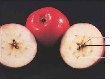 Apple Ovary Wall Pedicels