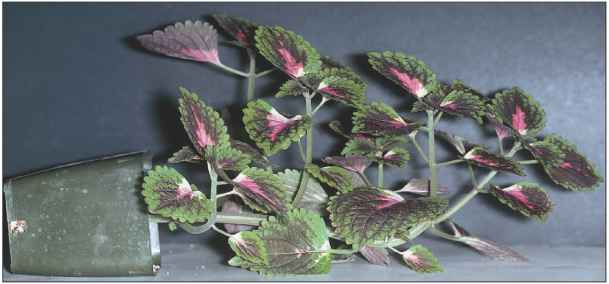Coleus Plant Placed Side