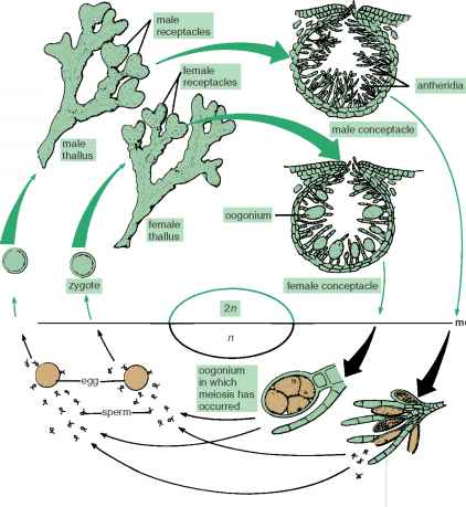 Life Cycle Fucus