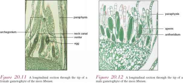 Moss Antheridia Neck Stalk Cells