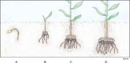 Modified Adventitious Roots Prop Roots