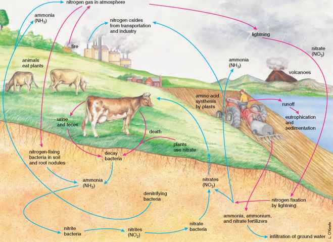 Nitrogen Cycle Steps