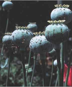 Harvesting Opium From Poppy Plants