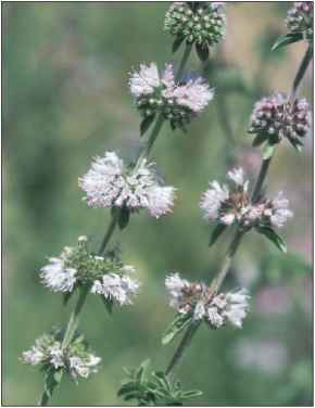 Pennyroyal Mosquito Plants