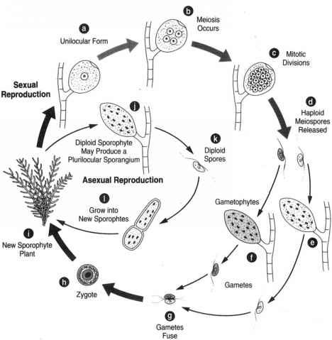 Unilocular sporangia ectocarpus asexual reproduction
