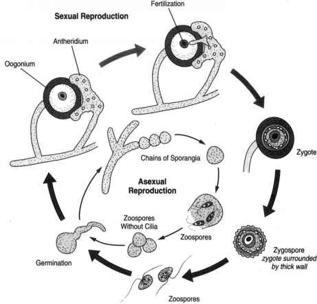 Asexual Reproduction Albugo Candida