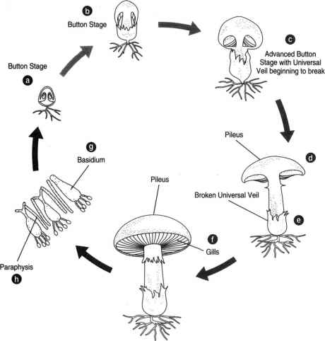Life Cycle The Ustilago Scitaminea