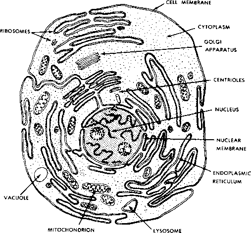 The Major Components Of A Typical Animal Cell Human