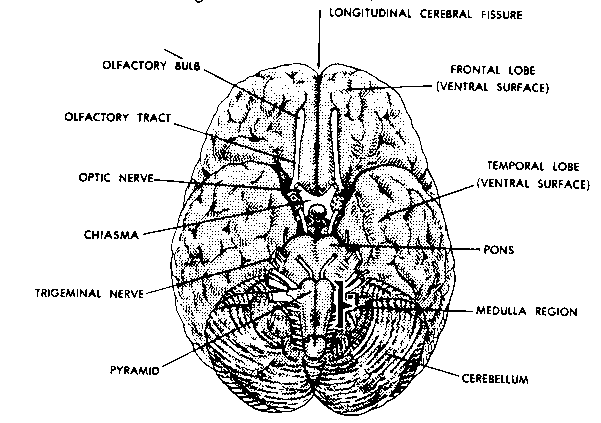 bottom view of the human brain spot