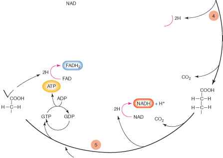 Ketoglutaric Acid Kreb Cycle