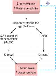 Osmoreceptors In The Hypothalamus Of The Brain Are..