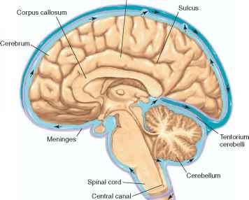 Structural Organization of the Brain - Human Physiology