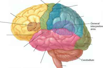 sensory areas cerebral cortex