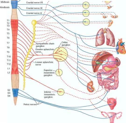 Nervous system besides Parasympathetic Division as well 11199 Herz Lunge Blu reislauf in addition Intro additionally Stock Images Bronchial Tree Image20704714. on lung diagram