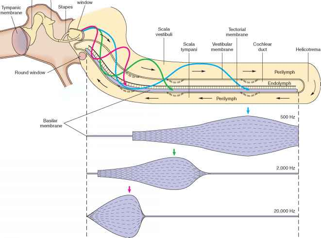 relationship between basilar membrane and tectorial spine