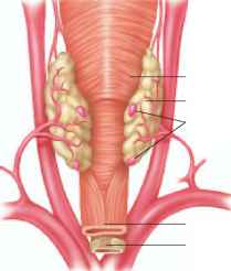 Posterior View Thyroid Gland