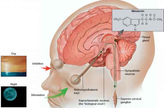 Pineal Gland - Human Physiology - 78 Steps Health Journal