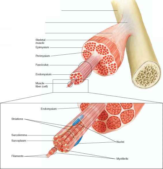 structure of skeletal muscles - human physiology, Muscles
