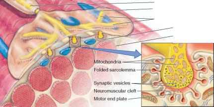axon muscle fiber motor unit axonal terminal