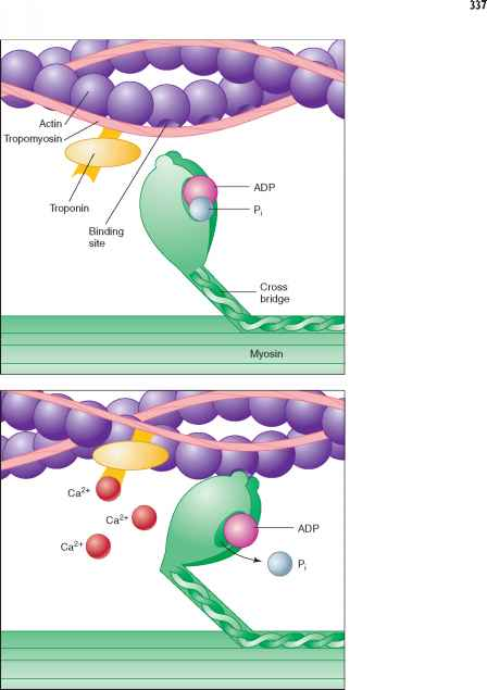 Tropomyosin And Troponin Actin Myosin