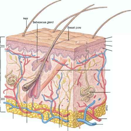 Epithelial Tissue Hair