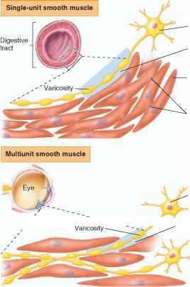 single unit and multiunit smooth muscles - human physiology, Muscles
