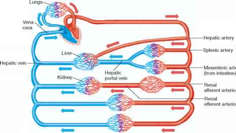 extrinsic regulation of blood flow - human physiology, Muscles