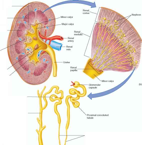 gross structure of the urinary system - human physiology, Human Body