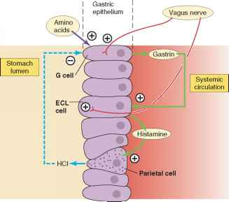 plant cell plant cell diagram labeled pepsin duct cell diagram gastric phase - human physiology - 78 steps health journal