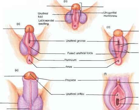 Development Of The Penis 119