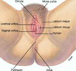 Comparison Penis Genitalia Male Female