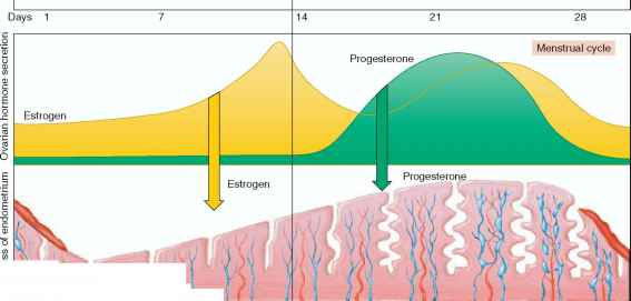 Follicular Phase The Menstrual Cycle