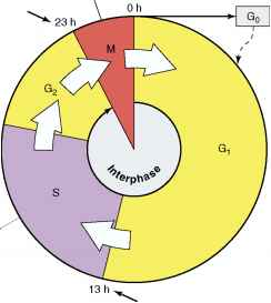 Cell Cycle With Time Elapsed