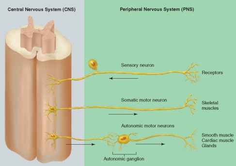 Physiology Nervous System