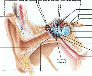 Audtiory Tube Auricle Cochlea
