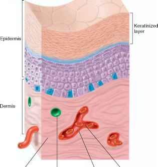 Endothelial Cell Membrane