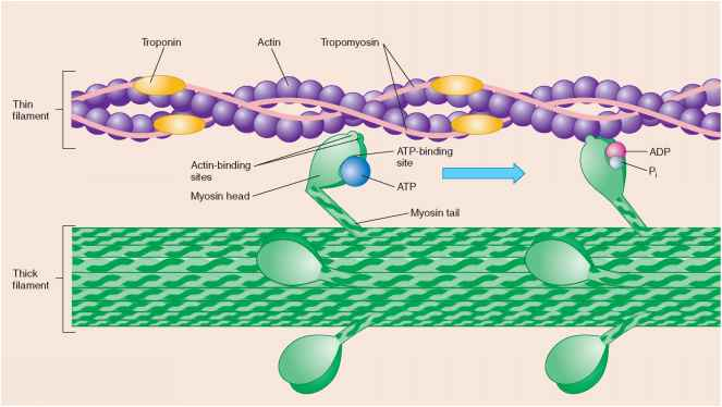 Myosin Heads Release The Molecule Adp