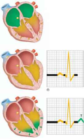 Heart Repolarization