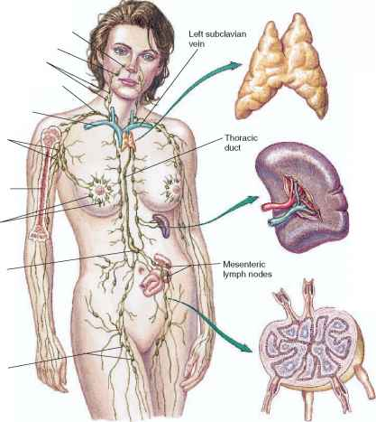Lymphatic System Has Mammary Glands