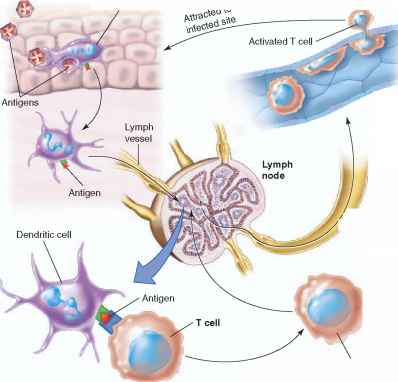 Activation Cell Dendritic Cell