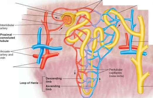 Nephrons Efferent And Afferent
