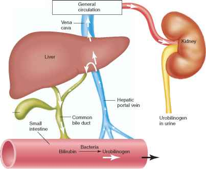 Enterohepatic Circulation Urobilinogen
