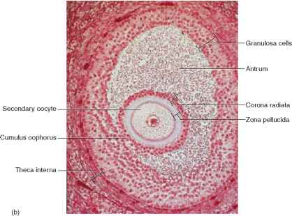 Ovarian Cycle Follicle