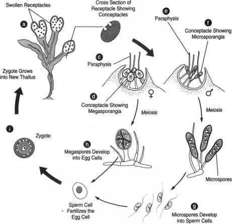 Brown Algae Reproduction