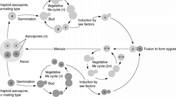 Life Cycle Saccharomyces Cerevisiae