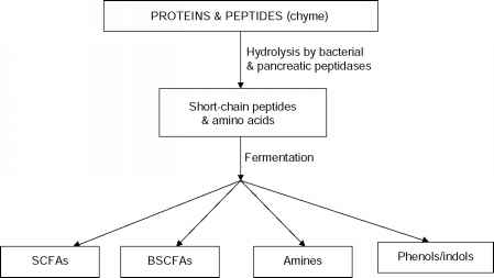 Protein Fermentation End Product